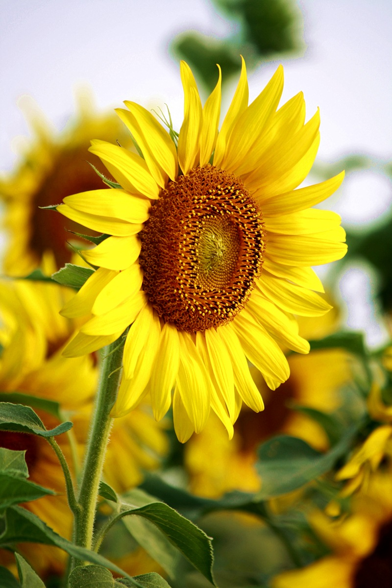 free wallpaper sunflowers -